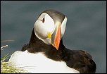 Papuchalk (puffin)